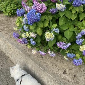 紫陽花と玉ねぎ氷
