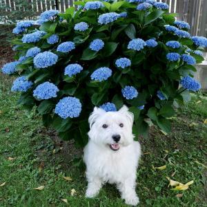 紫陽花と白犬と梅の種