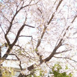 桜が取り持った30年ぶりの縁
