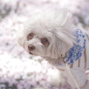 桜の絨毯(^^♪
