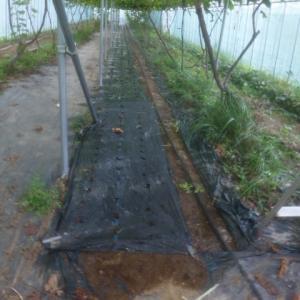 ニンニク種植え終了 20190911