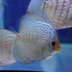 今日のディスカス:ブルーアナコンダ(自家産幼魚)