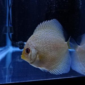 今日のディスカス:ブルーアナコンダ(自家産幼魚)2