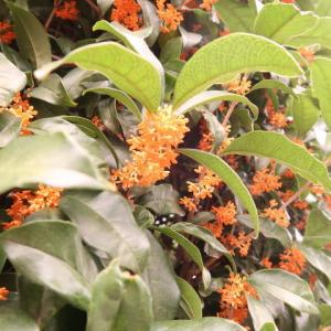 Kinmokusei in Japan 金木犀の咲く、、10月半ば。なんと、、、言って良いものやら