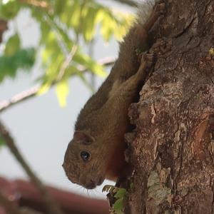 Plantain Squirrel バナナリスとも言われる。が、Plantainとは「短太バナナ」のこと。めっちゃかわいいリス。