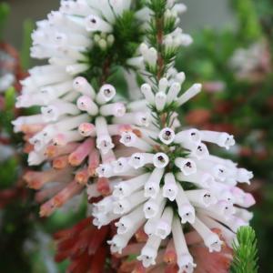 Flowers 園芸種の多様性は目をみはるばかり。野の花は、マレーシアと同じ。