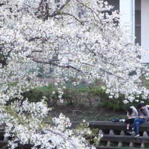 Sakura さくらの咲くころ、新しい生活。この言葉は陳腐だけど、重みがあるんだよ