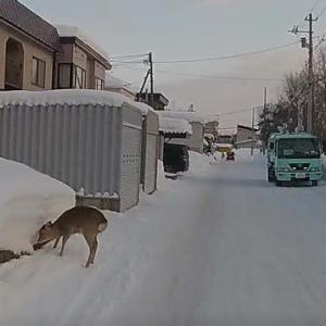 町内に住み着いた鹿さん?