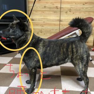 甲斐犬サンの改善点を探せェッ❗️の巻〜( ー`дー´)キリッ‼︎