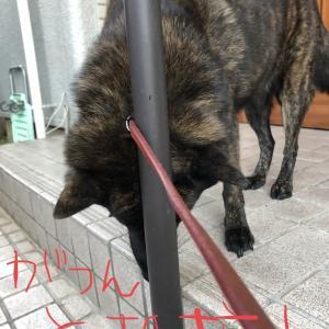 甲斐犬サン、引っかかるの巻〜強制連行:ヽ(゜▽゜ )-C<(/;◇;)/ イヤァアアアアア!!