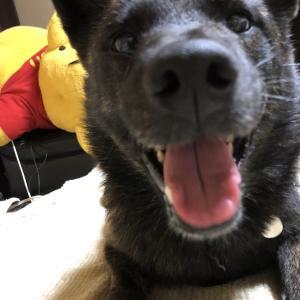 甲斐犬サンはブランド生物〜ネェネにとって妹ブランドなのだょ⁈(๑˃̵ᴗ˂̵)