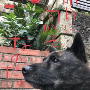 甲斐犬サンの「4歳と364日目」の巻〜Happy♪ヾ|*゚∀゚*|ノ Birthday♪