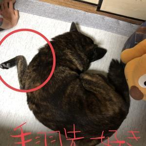 甲斐犬サン、手羽先に憧れるの巻〜*ଘ(੭*ˊᵕˋ)੭* ੈ✩‧₊
