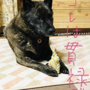 甲斐犬サンのデブか貫禄か、の巻〜♪~('ε';)