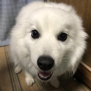 甲斐犬は他犬種と仲良く出来るのか、の巻〜ソンナン勝手デショッ( *`ω´)