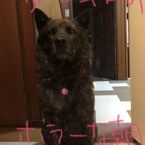 甲斐犬と開かずの扉の七不思議の巻〜|ω・`)ジーッ。