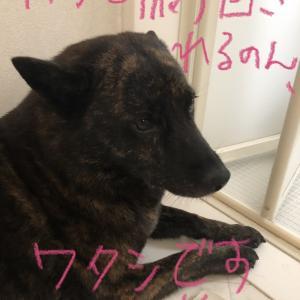 甲斐犬サン、今世紀最大級の勘違いに振り回される、の巻〜モゥ何デッ‼︎Σ(-᷅_-᷄๑)