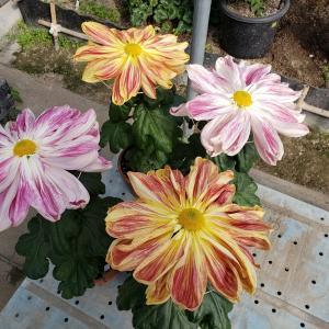その後の一文字菊と管物菊
