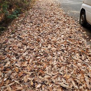 腐葉土の作り方(part1)落ち葉を集めました