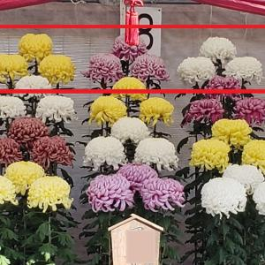 出品した12花壇の冬至芽(4段)