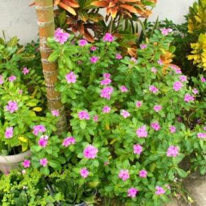 Pacificblue SQに咲く花 その3