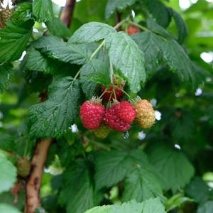 夏の庭の恵み 2021 ~die Marmelade und der Sirup~