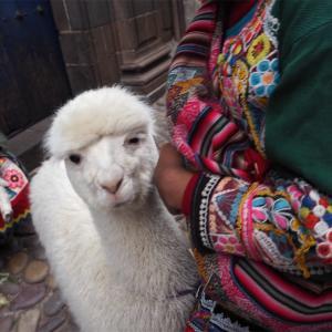 【月曜からモフモフ】ペルーで出会ったアルパカさん達