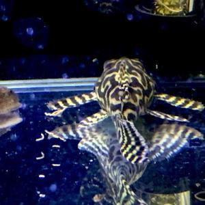 規格タイプ60オールガラス血統プレコ水槽