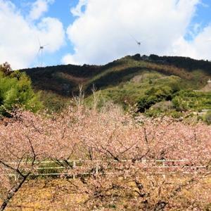 でんでんころの河津桜、部分的に見たら十分奇麗だから・・・。