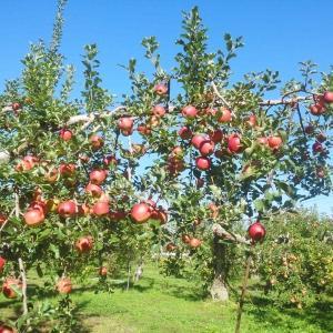 信州リンゴが美味いわけ