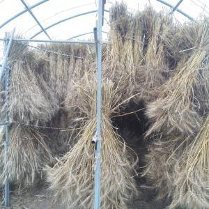 小麦刈り始めます