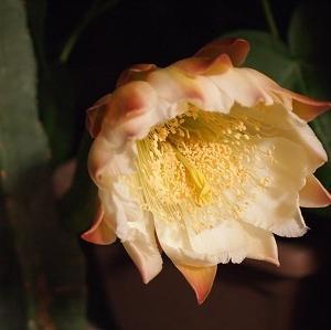 2年ぶりに咲くサボテンの花