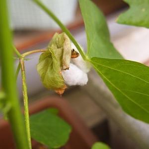 綿のはなしべ開く