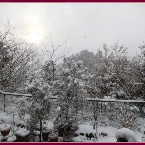 ここは雪国?高知県です。生き残り寄せ植えが!