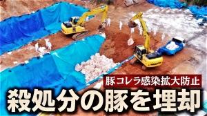 豚熱(豚コレラ)の最新情報!