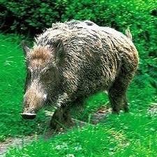 散歩中 大猪に遭遇!