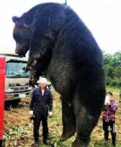 467キロの巨大ヒグマ 駆除!