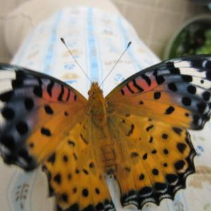 LIFE  ~ツマグロヒョウモン蝶の幼虫~