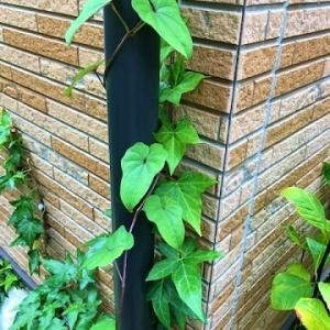驚き!!謎の植物はムカゴだったみたいだ