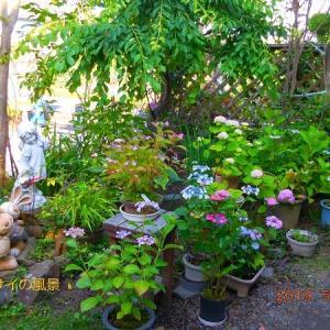 庭のアジサイ、花色について考察します~♪