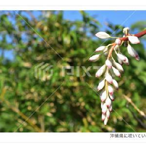 月桃の花の写真素材/PIXTA