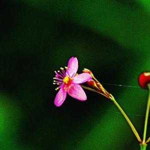 三時に咲く花爆裂草