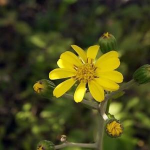 ツワブキの黄色い花が咲いてきた