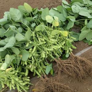袖ケ浦市大曽根地区にて、枝豆・落花生の収穫体験が10月26日(土)開催