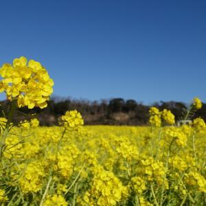 【ひと足早く春を感じてみませんか?】東京ドイツ村では菜の花が見頃を迎えています。