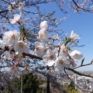 【各所の桜を楽しむイベントが中止】桜の咲き具合をみてきた(3月25日撮影)