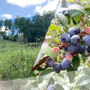 【完熟大粒のブルーベリーを摘みに行こう!】木更津市内の8つの「観光ブルーベリー園」が7月17日(土)オープン!【時間無制限食べ放題!】