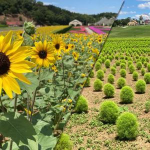 【東京ドイツ村】1株で100輪の花を咲かせる「ひまわり(サンフィニティ)」とふわふわの「新緑コキア」が見頃を迎えています