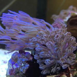 レイ変好きを止めるサンゴ達