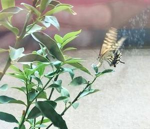 アゲハチョウを呼ぼう!(キンカンの鉢植)